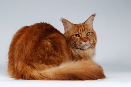 maine cat: Maine Coon Cat Lies and turned back on White background