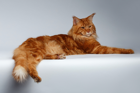 lies: Maine Coon Cat Lies on White background