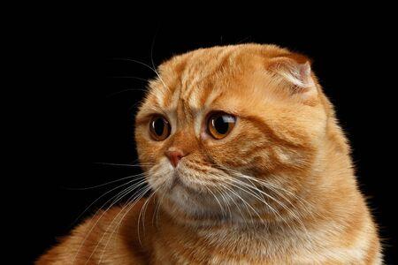 fold back: Closeup Ginger Scottish Fold Cat Looking back isolated on Black Background