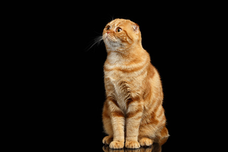 Ginger Scottish Fold Cat Sits and Looking up isolated on Black Background Stock Photo