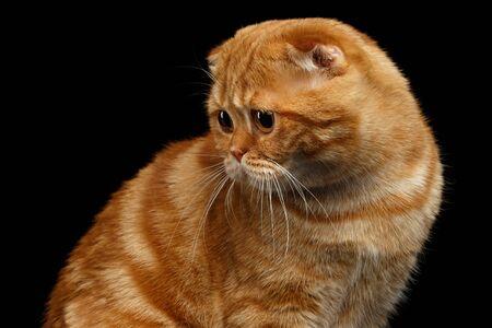 fold back: Ginger Scottish Fold Cat Looking back isolated on Black Background