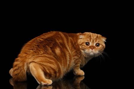 fold back: Frightened Ginger Scottish Fold Cat Looking back isolated on Black Background