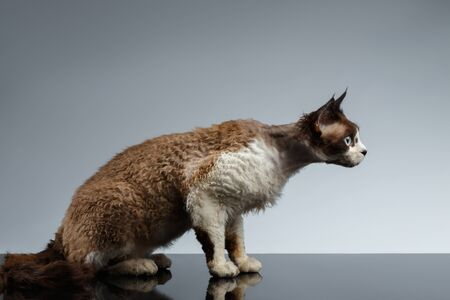 crouched: Crouched Devon Rex in Profile view on Gray background