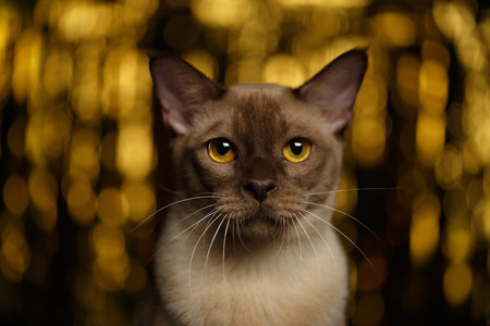 young eyes: Closeup portrait of Burmese Cat on happy new year background Stock Photo
