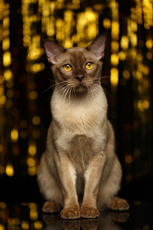 sits: Burmese Cat Sits on happy new year background Stock Photo