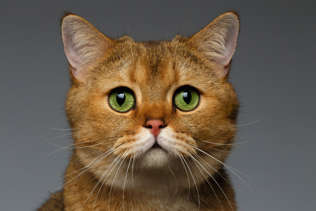 Closeup Golden British cat with  green eyes on gray background