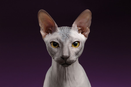 Closeup Sphynx Cat Looking in camera on purple background