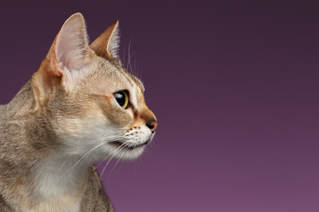 Closeup Singapura Cat Profile view on purple background Фото со стока