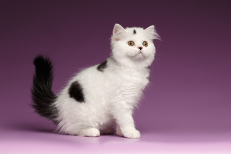scottish straight: White Scottish straight Kitten Sits and Looking up on Purple Background Stock Photo