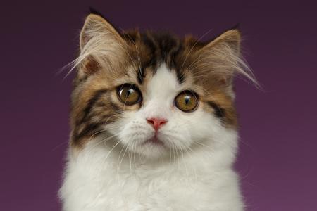 scottish straight: Closeup Portrait of Tabby Scottish straight Kitten on Purple Background