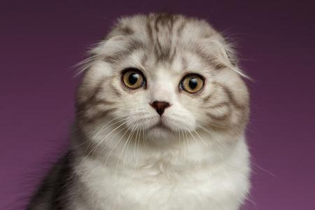 자주색 배경에 흰색 스코틀랜드 배 고양이의 근접 촬영의 초상화