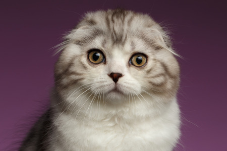 Closeup Portrait of White Scottish Fold Kitten on Purple Background