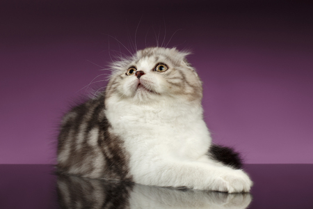 lies: White Tabby Scottish Fold Kitten Lies and Looking up on Purple Background