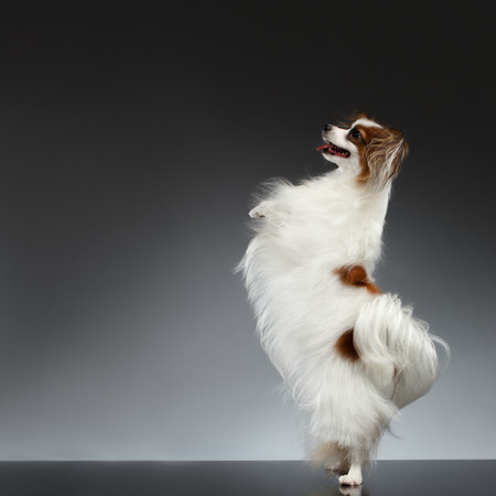 front raise: White Papillon Dog Stands on Rear Paws and Raise up on black background Stock Photo