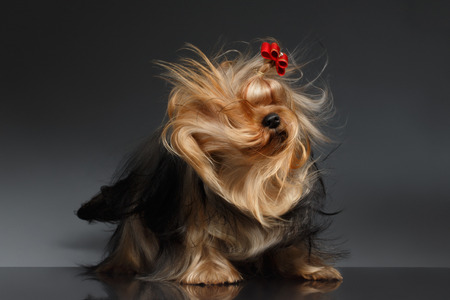 Yorkshire Terrier Dog Shaking his Head on Black Mirror background