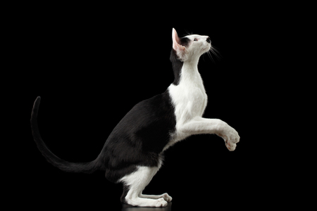 oriental white cat: Standing on legs Black and White Oriental cat Isolated on Black Background