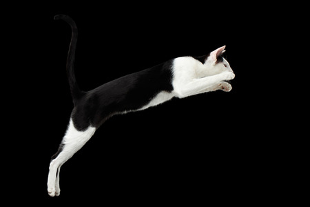 oriental white cat: Jumping Black and White Oriental cat Isolated on Black Background