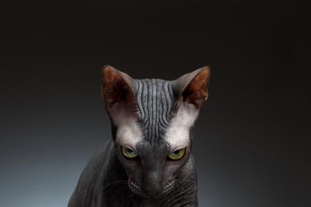 검정색 배경에 스핑크스 고양이 시선의 근접 촬영의 초상화가 보인다.