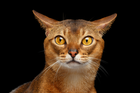 Closeup Portrait of curiosity Abyssinian cat Isolated on black background
