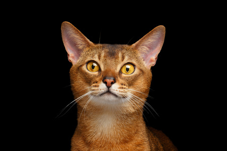 abyssinian cat: Closeup Portrait of beautiful Abyssinian cat Isolated on black background Stock Photo