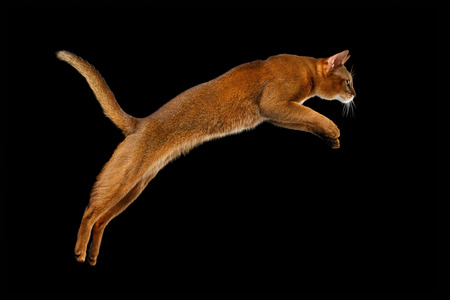 Closeup Jumping Abyssinian cat Isolated on black background, Profile view