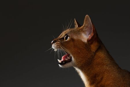 Closeup Portrait of Meowing Abyssinian cat Isolated on black background, Profile view