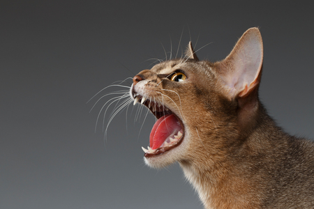 Closeup Portrait of Hisses Abyssinian cat Isolated on black background, Profile view
