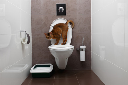 Abyssinian Cat Sits on a toilet Bowl and Curious Looking in Camera Archivio Fotografico