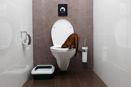 Curious Abyssinian Cat Looking in a toilet Bowl