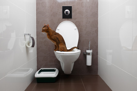 Gato de Abisinia inteligente utiliza una taza de inodoro Foto de archivo