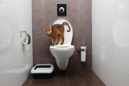 Curious Abyssinian Cat uses a toilet bowl 스톡 콘텐츠