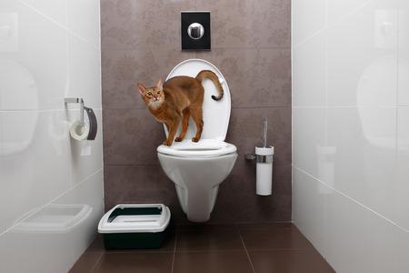Nieuwsgierig Abyssinian Cat maakt gebruik van een wc-pot
