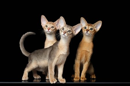 front raise: Three Cute Abyssinian Kittens Sitting isolated black background