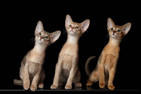 female portrait: Three Cute Abyssinian Kittens Sitting isolated black background