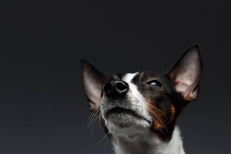 Closeup Portrait of Jack Russell Terrier Dog Looking up squints, Dark background
