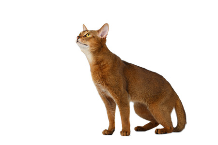 abyssinian cat: Funny Abyssinian Cat Sitting and Looking up isolated on White background