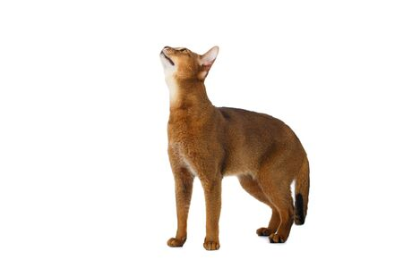 abyssinian cat: Funny Abyssinian Cat Standing and Looking up isolated on White background