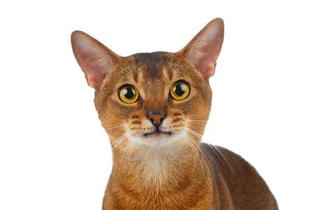 curiously: Closeup Abyssinian Cat Curiously Looking in Camera isolated on White background