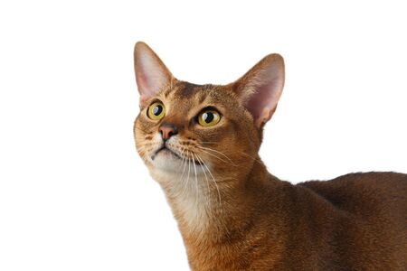 curiously: Closeup Abyssinian Cat Curiously Looking up isolated on White background Stock Photo