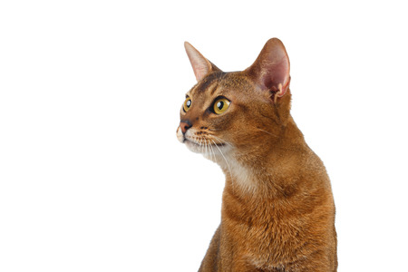 curiously: Closeup Abyssinian Cat Curiously Looking at left isolated on White background Stock Photo