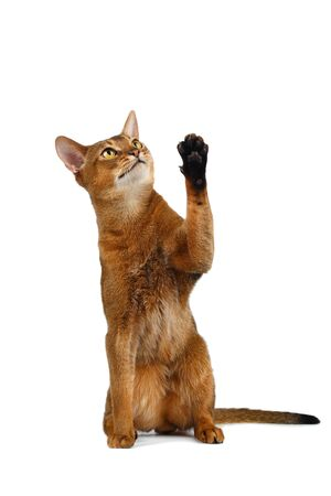 curiously: Funny Abyssinian Cat Sit, Curiously Looking and Raising up paw isolated on White background Stock Photo