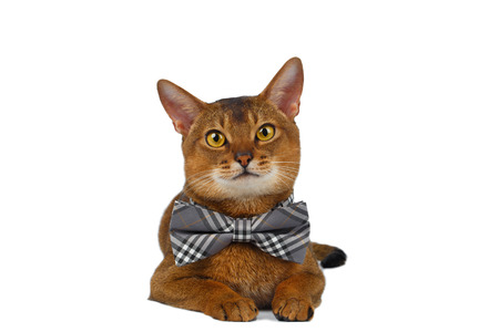 curiously: Funny Abyssinian Cat Lying with bow tie, Curiously Looking in Camera, isolated on White background Stock Photo