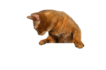 lies down: Closeup Abyssinian Cat front desk with Paws and Looking down isolated on White background