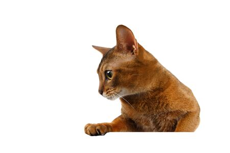 abyssinian cat: Closeup Abyssinian Cat front desk with Paws and Looking at left isolated on White background Stock Photo
