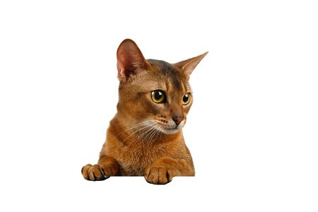 front desk: Closeup Abyssinian Cat front desk with Paws and Looking at right isolated on White background