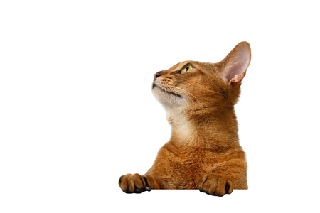 abyssinian cat: Closeup Abyssinian Cat front desk with Paws and Looking up isolated on White background