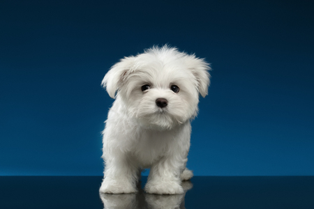 curiously: Cute Pure White Maltese Puppy Standing and Curiously Looking in Camera isolated on blue background