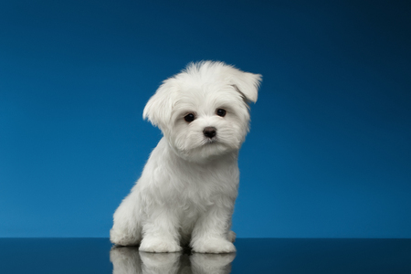 curiously: Cute White Maltese Puppy Sits and Curiously Looking in Camera isolated on blue background