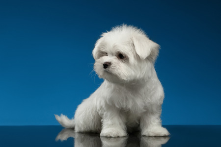 Cute White Maltese Puppy Sits and Looking left isolated on blue background