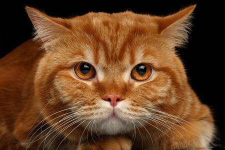 mournful: Closeup head of Angry Red British Cat isolated on Black Background Stock Photo